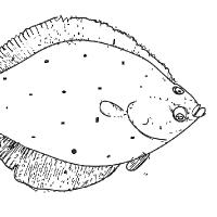 Coloring flatfish